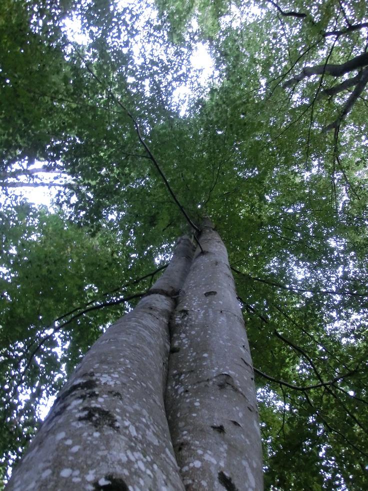 To trær tett i tett...