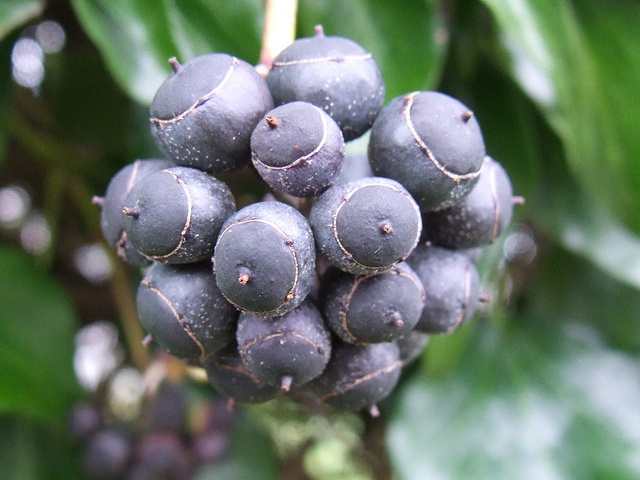 Hedera helix berries  ripe  by Buzz    via FlickrHedera Helix Berries