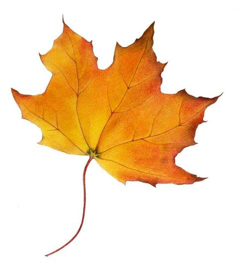 Maple Leaf. Colored pencil by Mariana Musa.