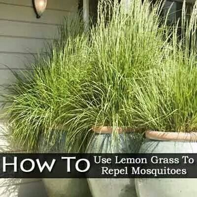 lemon grass as mosquito repellent