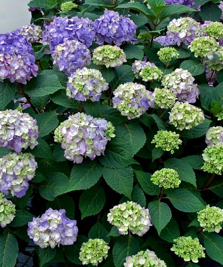 bloomstruck endless summer hydrangea glorious gardens. Black Bedroom Furniture Sets. Home Design Ideas