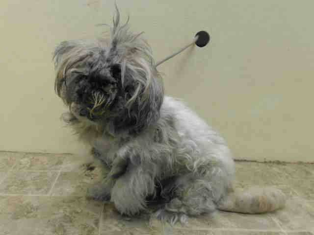 Shih tzu mix 9 yrs owner sur onholdhere hold for legal reason