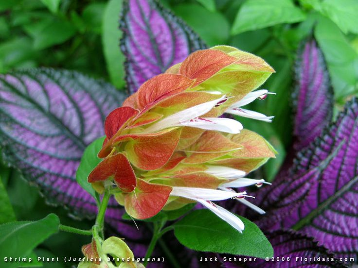 shrimp plant ...because it was one of my Grandfathers favorites....I ...