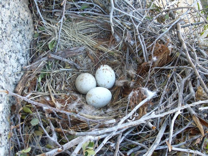 hawk nest | Bird Nests | Pinterest