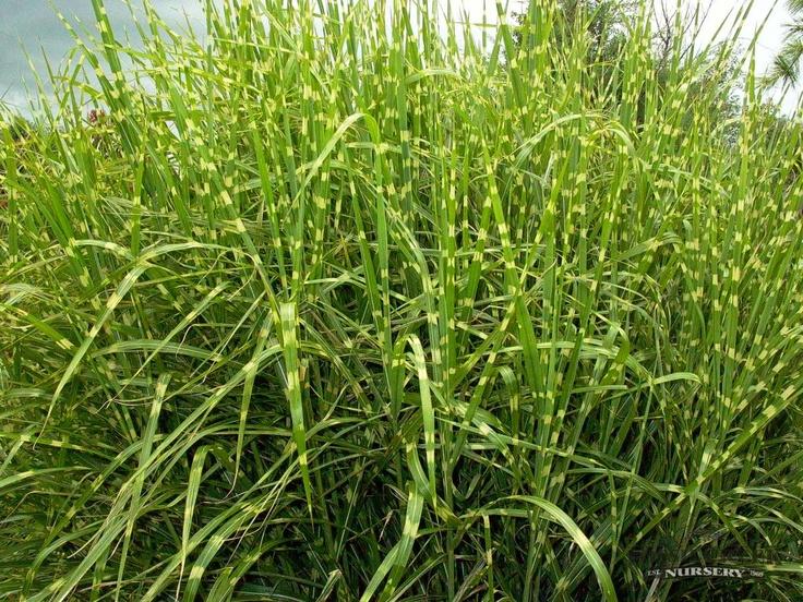Zebra grass plants pinterest for Landscaping with zebra grass