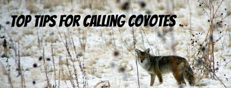 Coyote Hunting Calling Tips
