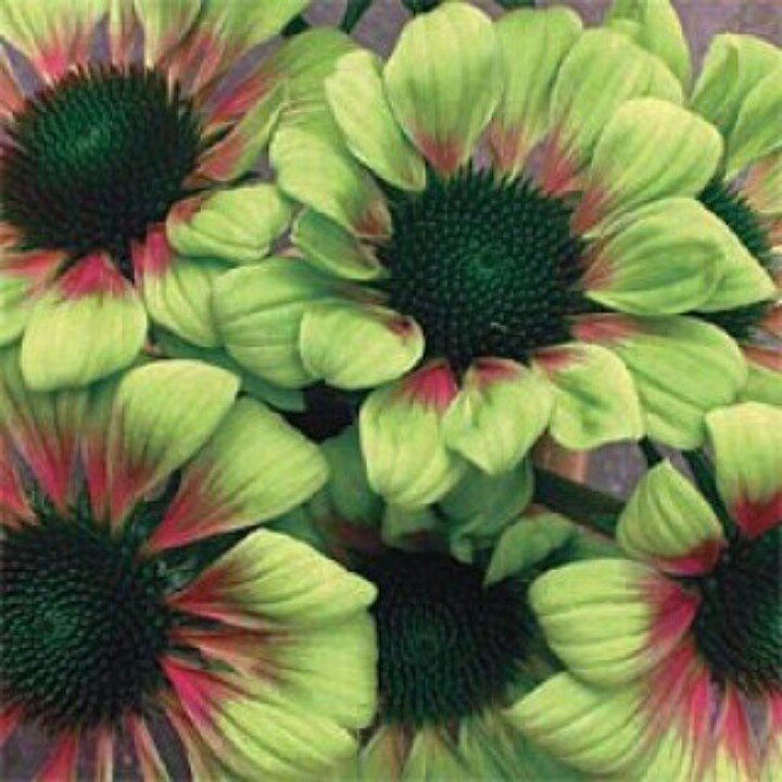39 green envy 39 coneflower plants and flowers pinterest. Black Bedroom Furniture Sets. Home Design Ideas