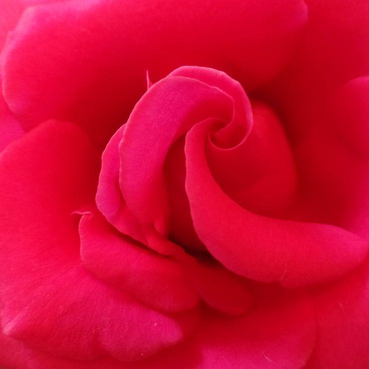 geschichten schoenste rose welt