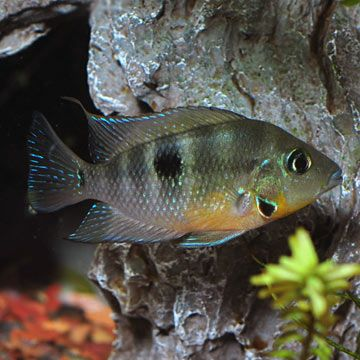 Firemouth Cichlid : Firemouth Cichlid H2Orium Pinterest