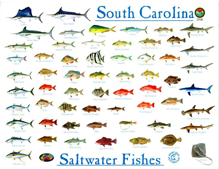 Fish south carolina for the kids pinterest for Types of saltwater fish to eat