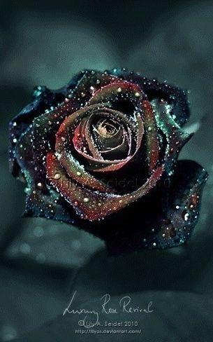 Black Rose ☆* | Ӝ̵̨̄ Dark Roses Ӝ̵̨̄ | Pinterest