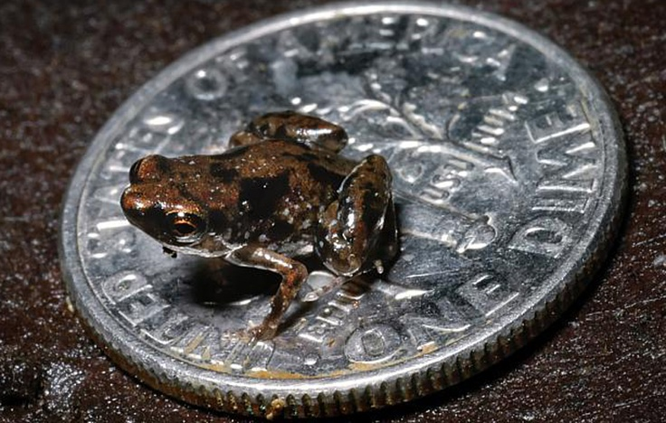 World's tiniest frog!
