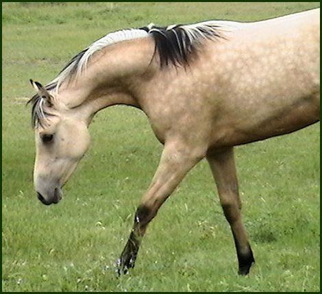 Dun horses - photo#18