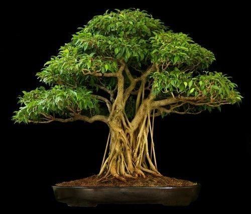 bonsai ficus nuda plants beauty pinterest. Black Bedroom Furniture Sets. Home Design Ideas