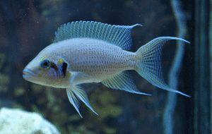 Fairy Cichlid : Neolamprologus brichardi Aquariums and Tanganikyans Pinterest
