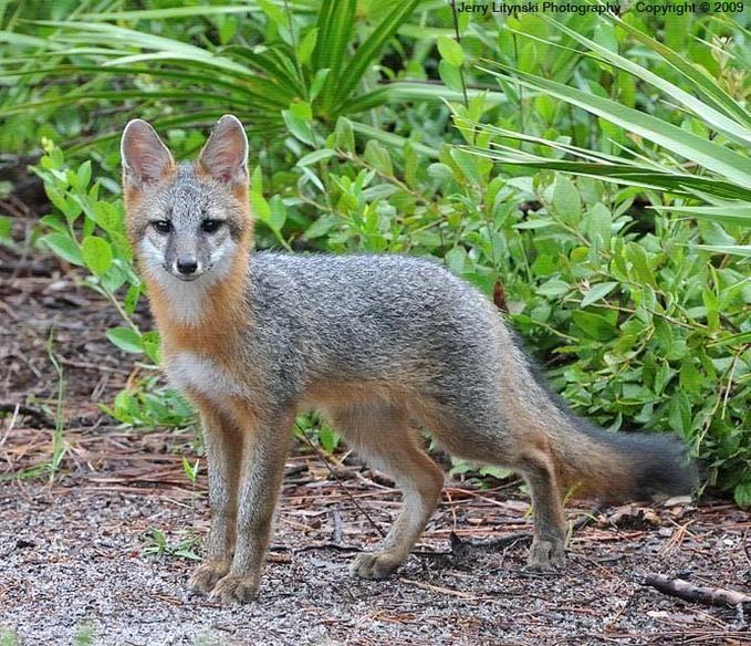 Gray fox habitat - photo#15