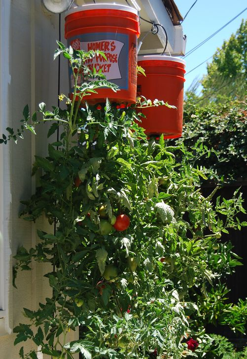 How To Grow Tomatoes Upside Down Gardening Outside Pinterest