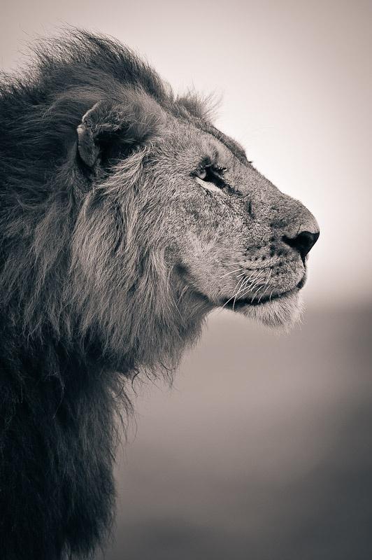 Lion Profile | Rad Stuff | Pinterest