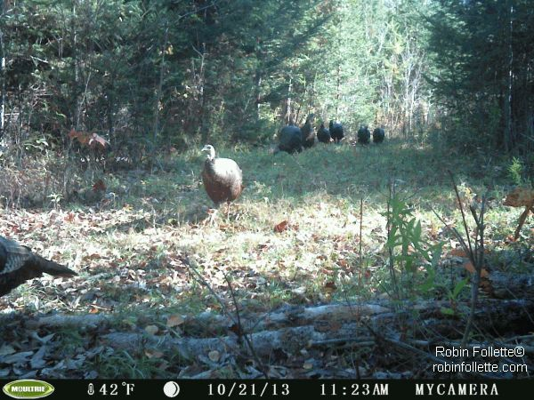 Wild Backyards : Wild turkeys on the game camera Game cameras are great for backyards