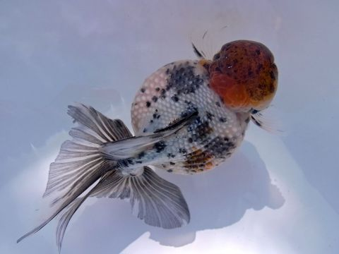 Chinese Red Cap Crown Pearlscale Goldfish
