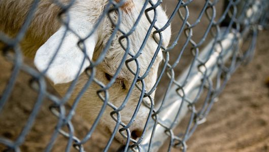 Backyard Farming Animals : Failed backyard farms lead to growing number of homeless animals As