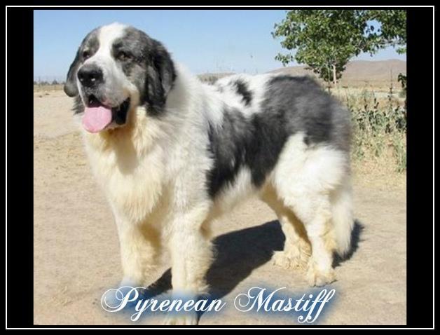 10 Most Largest Dog Breeds