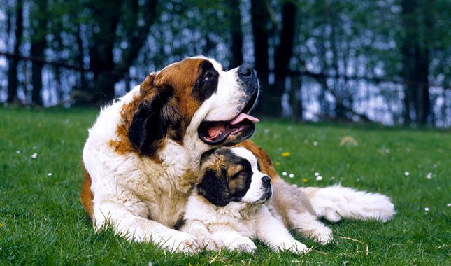 Saint Bernard Dog Breed Information Pictures