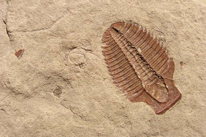 Trilobite, House Range, Millard County, Utah Photographer: Michael Vanden Berg Cambrian-age shales from western Utah's House Range contain millions of fossilized trilobites, such as this specimen of Elrathia kingi.