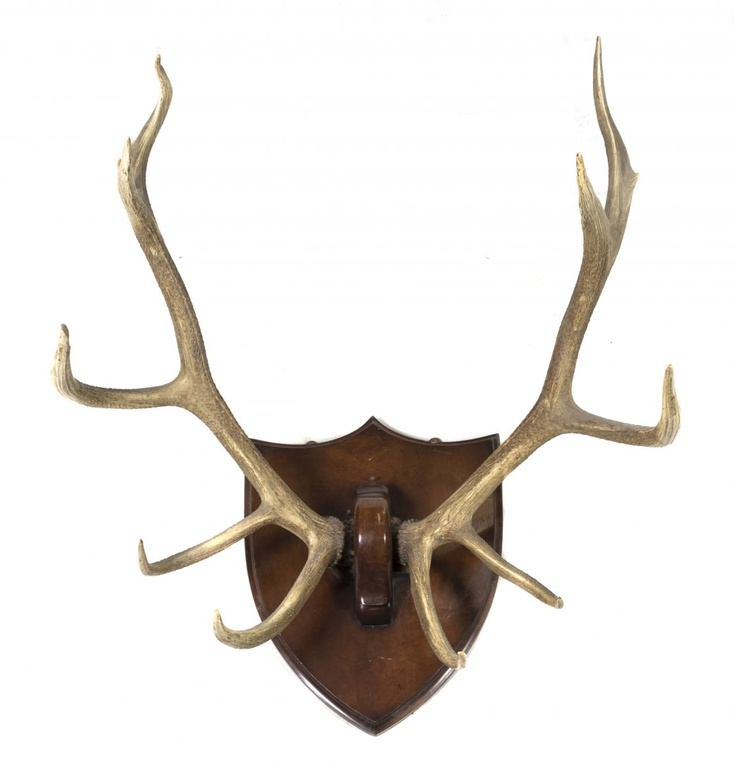 An Elk Antler Mount Height From Bottom Tine To Top Tin