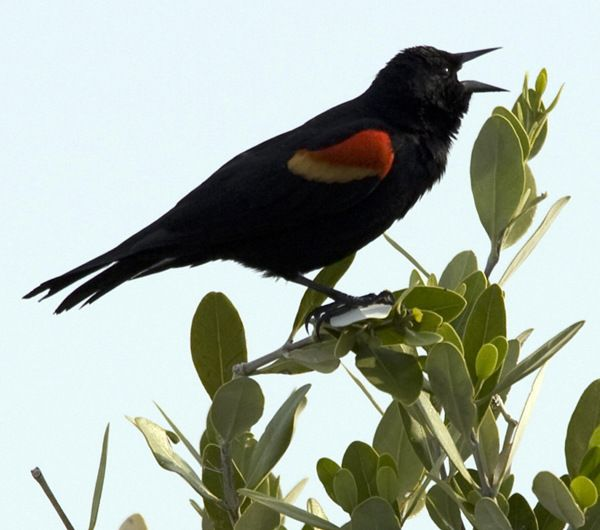 Four calling birds | 12Days | Pinterest
