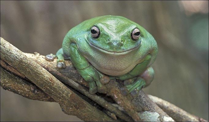 Baby dumpy tree frog - photo#17