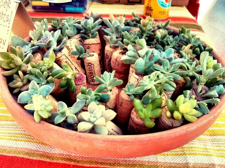 Succulents in Cork