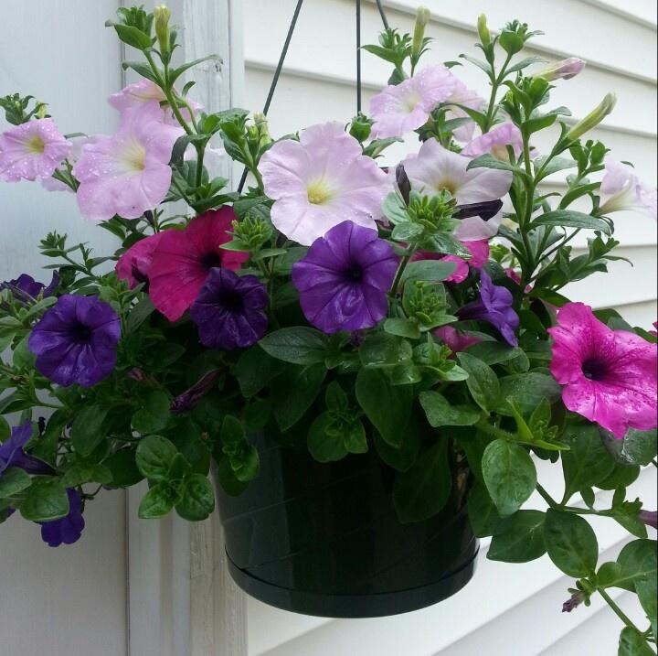 Wave petunias garden ideas pinterest - Wave petunias in containers ...