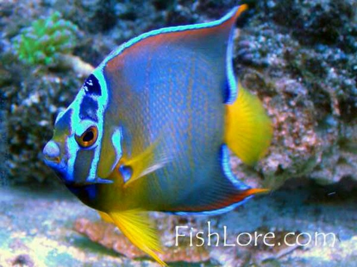 Saltwater Queen Angel Fish | Next collection hobby, salt ...