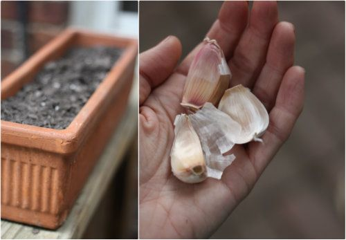 Fall Gardening: how to plant garlic in containers.