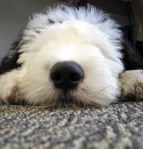 How to Prepare Your Old English Sheepdog for a Show How to Prepare Your Old English Sheepdog for a Show new pics