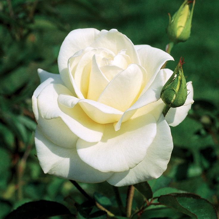 Rose John F. Kennedy Hybrid Tea | Flower prints | Pinterest