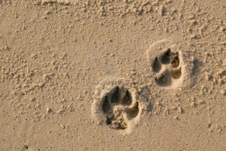 Two dog paw prints over wet sand. | lovely creatures | Pinterest