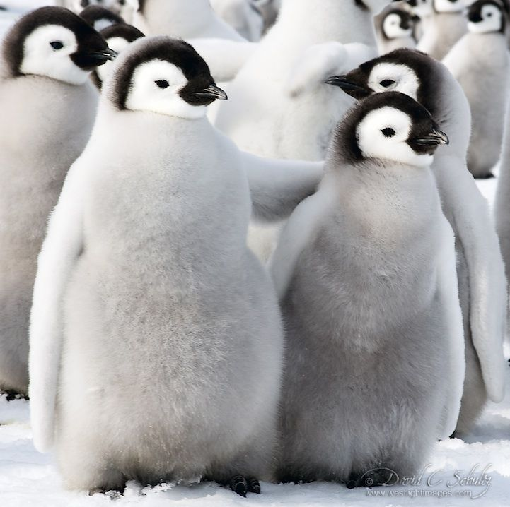 Cute baby emperor penguin - photo#21