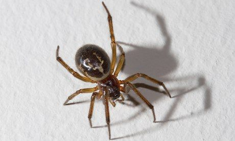 False widow spider: small, deadly – and in the UK A cousin of the black widow, Steatoda nobilis has infiltrated these shores and is spreading everywhere. But no one has died yet