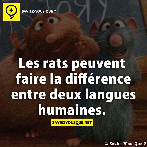 les rats peuvent faire la diff rence entre deux langues humaines saviez vous que tous les. Black Bedroom Furniture Sets. Home Design Ideas
