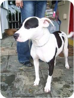 American Pit Bull Terrier Mix Dog for adoption in Piscataway, New ...