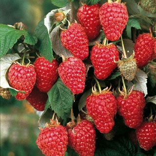 Raspberry 'Heritage'