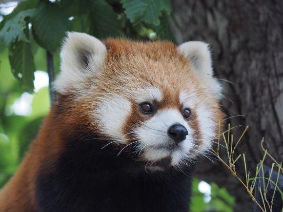 レッサーパンダの画像 p1_3
