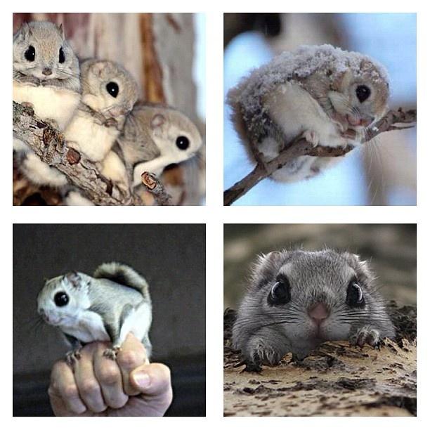 Cute flying squirrels - photo#27