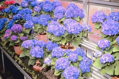 How to care for a potted hydrangea plant - Care potted hydrangea ...