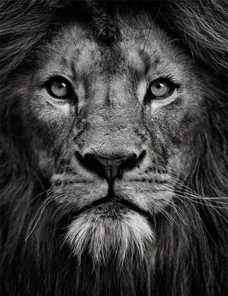 Lions face black and white