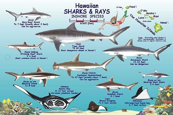 Hawaiian sharks rays inshore species shark week for Hawaiian fish identification
