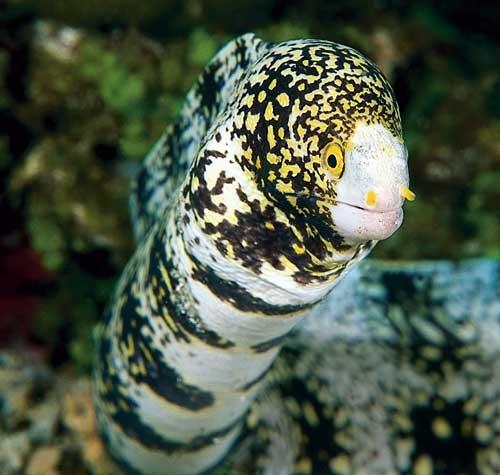 Snowflake Eel - Snake or Ray Charles Reef Life Pinterest