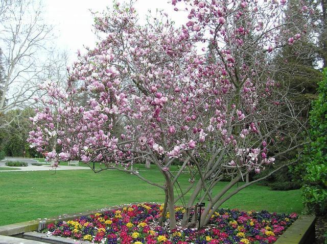 magnolia soulangeana garden pinterest. Black Bedroom Furniture Sets. Home Design Ideas